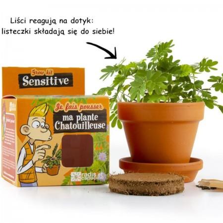 Mimoza Wstydliwa zestaw do uprawy dla dzieci +6 lat | Dadum